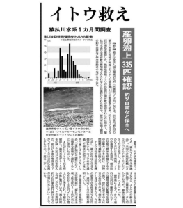 The Hokkaido Shimbun article.  Graph shows the count of the itou run, and I took that picture of a pair of itou on the spawning grounds.