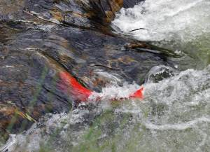 A flash of red.  A male itou swimming up the Sarufutsu River.  Our research effort aimed at counting them using an acoustic camera.  Photo by Maki-san.